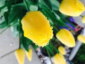 Yellow tulip in morning